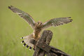 Kestrel a female landing on an old farm gate Royalty Free Stock Images