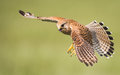 Kestrel in flight Royalty Free Stock Photo