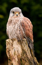 Kestrel perched tree stump close up Stock Photo