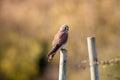 Kestrel Perching. Bird Of Prey Looking To Camera Royalty Free Stock Photo