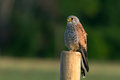 Kestrel s the male searching gaze a beautiful colored sitting watching for a prey from an wooden fence pole with a nice defocused Stock Image