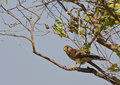 Kestrel on a tree is perching Stock Photography