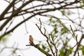 Kestrel in a tree sitting on branch of the Royalty Free Stock Images