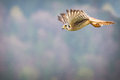 Kestrel varied bird in the nature Stock Photo