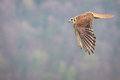 Kestrel varied bird in the nature Stock Images
