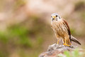 Kestrel varied bird Royalty Free Stock Photo