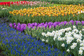 Keukenhof Spring Tulip Garden Royalty Free Stock Photography