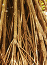 Kewda plant roots Royalty Free Stock Photo