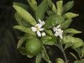 Key Lime Tree Royalty Free Stock Photo