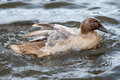 Khaki campbell duck swimming a female with water sheeting over it s back Stock Photos