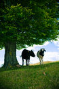 Kühe unter Baum Stockfotos