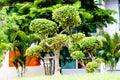 Khoi siamese rough bush in the public park tree Royalty Free Stock Photos