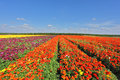 Kibbutz fields with bright Ranunculus Royalty Free Stock Images