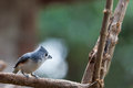 Kiciasty titmouse Obrazy Royalty Free