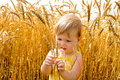 Kid examining wheat spikes Stock Photos