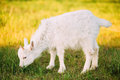 Kid Goat Grazes On Green Summer Grass On A Sunny Day. Goat Eating Royalty Free Stock Photo