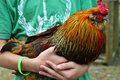 Kid holding beautiful rooster upclose Royalty Free Stock Images