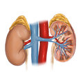 Kidney human diagram illustration Royalty Free Stock Images