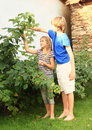 Kids harvesting raspberries little barefoot girl and boy Royalty Free Stock Photo