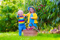 Kids picking cherry fruit on a farm Royalty Free Stock Photo