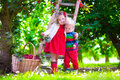 Kids picking cherry on a fruit farm garden Royalty Free Stock Photo