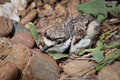 Killdeer baby Stock Photography