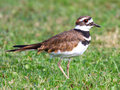 Killdeer (Charadrius vociferus) Royalty Free Stock Photos
