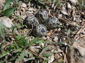 Killdeer nest four egg kill deer with twigs and plants Royalty Free Stock Photos
