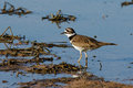 Killdeer wading Royalty Free Stock Photo