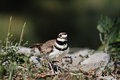 Killdeer in the wild with extreme shallow depth of field Stock Photos