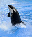 Killer whale Royalty Free Stock Photography