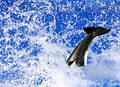 The Killer Whale Royalty Free Stock Photography