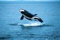 Killer whale breaching (Orcinus orca), Alaska, Southeast Alaska, Royalty Free Stock Photo