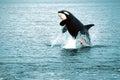 Killer whale breaching (Orcinus orca), Alaska, Southeast Alaska, near Frederick Sound Royalty Free Stock Photo