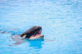 Killer whale opening mouth in the swimming pool big orca Stock Images
