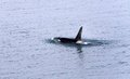 Killer whale photographed from alaska Stock Photos