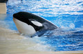 Killer whale posing in a pool Royalty Free Stock Images