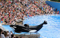 Killer whale at Sea World Orlando Royalty Free Stock Photo