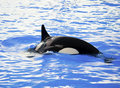 Killer whale in the water Stock Image