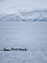 Killer whales in antarctic waters pod of Royalty Free Stock Photography
