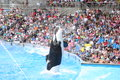 Killer whales performing at seaworld Stock Images