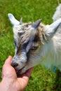 Kind goat