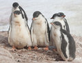 Kindergarten Gentoo penguins. Stock Photography