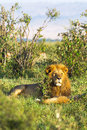 King of Africa. Portrait of lion. Kenya. Royalty Free Stock Photo