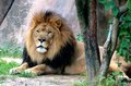 The king of beast at the memphis zoo an african lion rest in shade Stock Photo