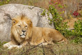 King of the beasts a lion lays down against a large rock to rest Stock Photos