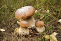 King bolete Royalty Free Stock Image