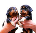 King Charles puppies being held up Stock Photography