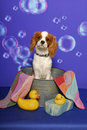 King Charles Spaniel in a Bath Tub Stock Photo
