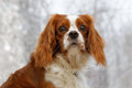 King charles spaniel on blurred background english toy small dog breed of the type against a Royalty Free Stock Images